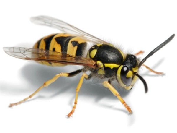 Dealing with a wasp problem as soon as possible will avoid a larger infestation - Quickill Pest Control, Kilkenny, Ireland